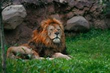lazy-lion-resting-in-the-grass-at-the-john-ball-zoo-in-grand-rapids-michigan.jpg