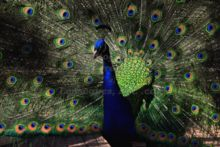 blue-eyed-peacock-at-the-binder-park-zoo-in-battle-creek-michigan.jpg