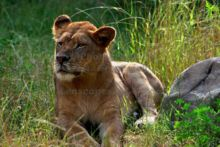 lioness-taking-in-the-sun-at-the-john-ball-zoo-in-grand-rapids-michigan.jpg