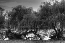 fallen-willows-at-riverside-park-in-grand-rapids-michigan.jpg