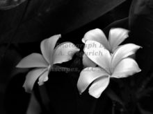 plumeria-in-black-and-white.jpg