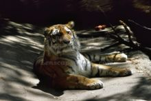 content-tiger-at-the-john-ball-zoo-in-grand-rapids-michigan.jpg