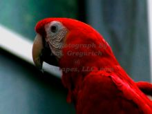 red-macaw-perched-quietly-in-detroit-michigan.jpg