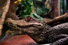 alligator-at-the-john-ball-zoo-in-grand-rapids-michigan.jpg